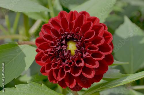 Miniature dark red ball dahlia