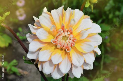 Seattle dahlia flower