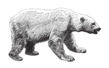 Polar Bear (Ursus Maritimus) /...
