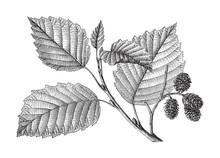 Grey Alder (Alnus Incana) / Vi...