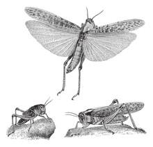 Migratory Locust (Oedipoda Migratoria) / Vintage Illustration From Meyers Konversations-Lexikon 1897