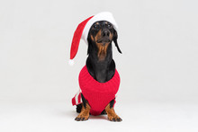 Dachshund Breed Dog, Black And Tan, Wearing In Red Christmas  Santa Claus Hat And Sweater Isolated On A White Background