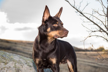 Australian Kelpie Dog In The Fall In A Field With Dry Grass