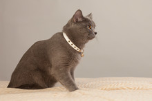 Gray Cat In A White Collar On ...