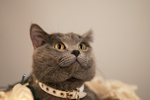 British Gray Cat Celebrates Ne...