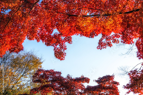 Foto op Canvas Rood paars autumn leaves close up in changgyeonggung