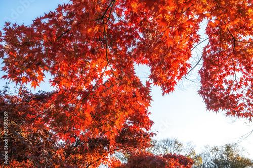 Keuken foto achterwand Rood paars autumn leaves close up in changgyeonggung
