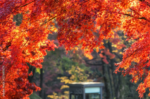 Staande foto Rood autumn leaves close up in changgyeonggung