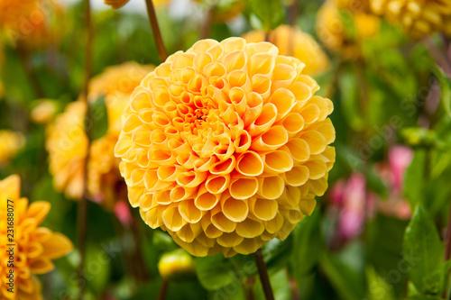 In de dag Dahlia Yellow Dahlia