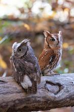 Screech Owl Pair On A Branch. ...
