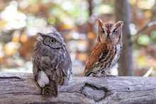 Screech Owl Pair On A Branch.  Grey And Brown.
