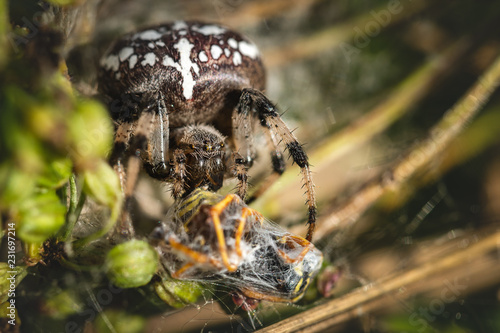 Common Cross (Araneus Diadematus) Eats Wasp. Close Up. Macro.