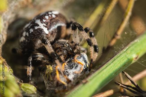 Common Cross (Araneus Diadematus) Eats Wasp. Close Up. Macro.