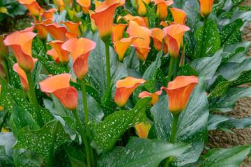 Bouquet of orange Calla Lilies (zantedeschia) in the garden