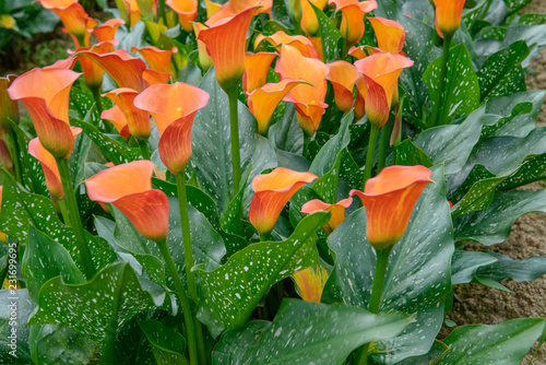 Bouquet of orange Calla Lilies (zantedeschia) in the garden