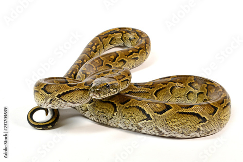 Felsenpython (Python sebae) - African rock python