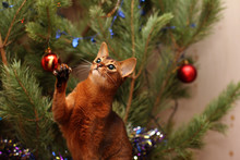 Abyssinian Cat Playing With Ti...