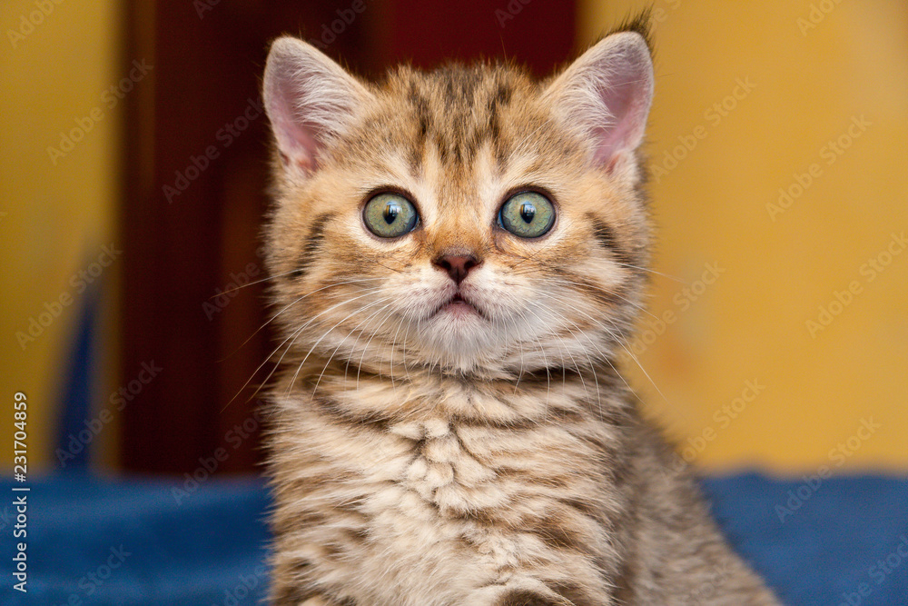 Funny British kitten looks in surprise at the camera, a portrait of a British kitten close-up