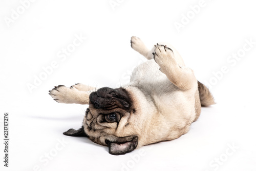 Leinwand Poster  Cute pet dog pug breed lying on ground and smile waiting for playing with owner