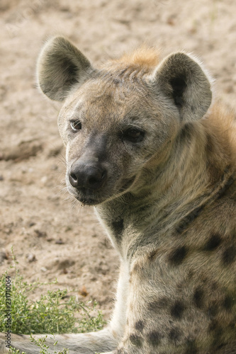 Deurstickers Hyena Spotted Hyena lying with detail on the head.