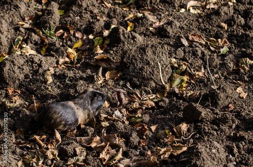 Fotografía  Guinea pig walk outside in the garden - autumn scene