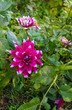 summer nature close up - vertical photo of bright dahlia flower growing in the garden, with green leafs