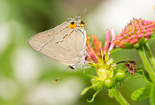 Tiny Gray Hairstreak Butterfly Resting On A Lantana Flowerhead In Summer Garden