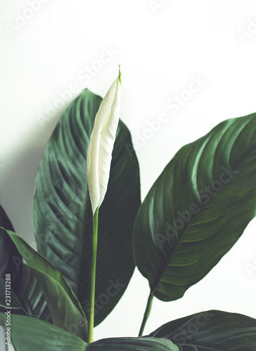 Selective focus of white flower peace lily with leaf.nature concepts