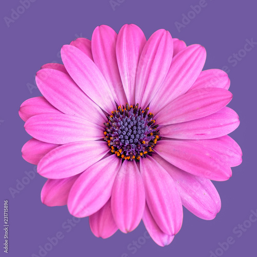 Deurstickers Madeliefjes Fine art still life color flower macro portrait image of a single isolated wide open blooming bright pink african / cape daisy / marguerite blossom on violet background