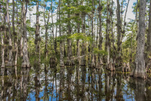Scenic Drive Cypress National Preserve, Everglades National Park, Florida, USA - July 18, 2018: View Of A Water Marsh Along The Crossing Loop Road Cypress National Preserve