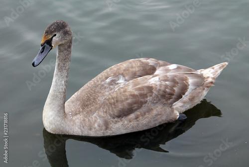 Deurstickers Zwaan Cygnus olor cygnet or Mute swan in juvenile plumage