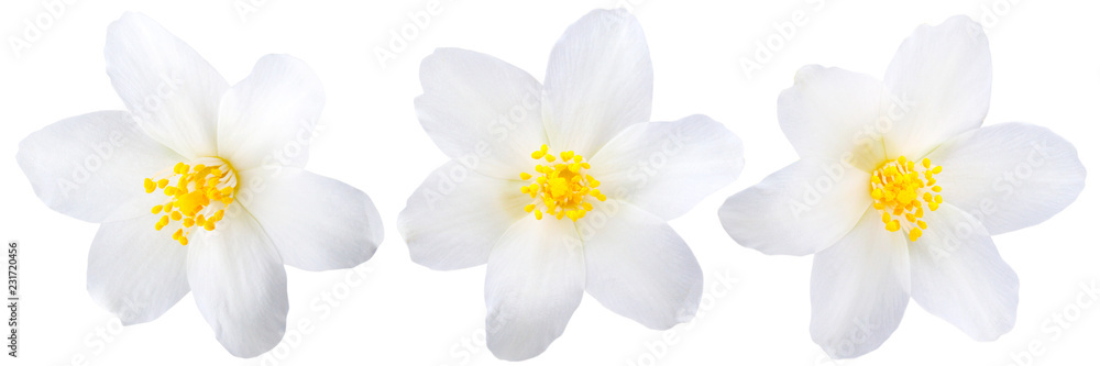 Fototapety, obrazy: Single jasmine flowers isolated