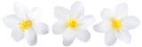Fototapeta Kwiaty - Single jasmine flowers isolated