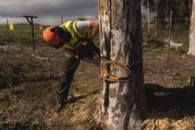 Lumberjack Cutting Tree In The...