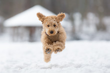 Poodle Puppy Is Jumping In The Snow. Poodle Puppy In The Snowy Vienna Woods, Austria