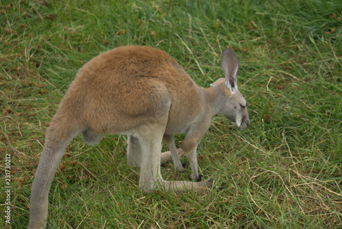 Foto op Canvas Kangoeroe kangaroo in the grass