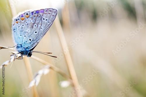 Foto op Aluminium Oranje common blue