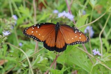 Closeup Of A Monarch Butterfly Seen From The Behind
