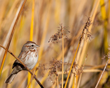 Song Sparrow Hides Amongst Reeds