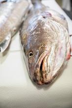 Big Fresh Raw Fish Corvina On ...