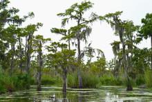 Cypress Trees In A Bayou