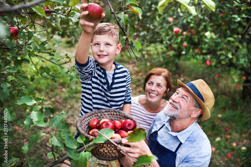 A senior couple with small grandson picking apples in orchard. Fototapete