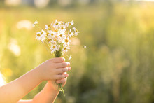 Nature Summer Daisy Bouqet In Children Girl Hands Present For Mother Happy Mothers Day Charity Kindness Be Healthy