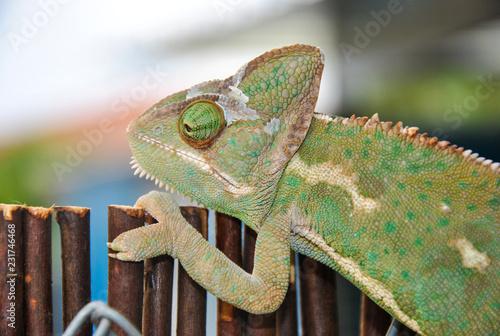 Spoed Foto op Canvas Kameleon El agarre del camaleón
