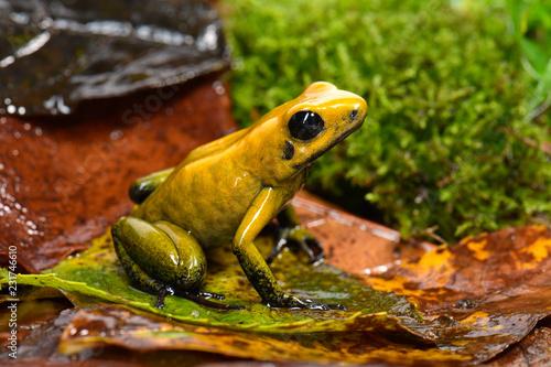 Zweifarbiger Blattsteiger (Phyllobates bicolor) - black-legged poison frog