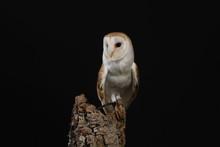 Barn Owl - Studio Captured Portrait