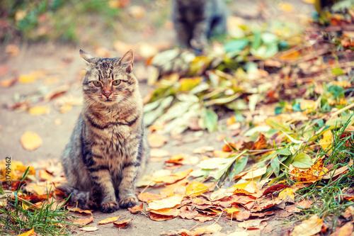 Siberian cat sitting on fallen leaves in the autumn garden Fototapete