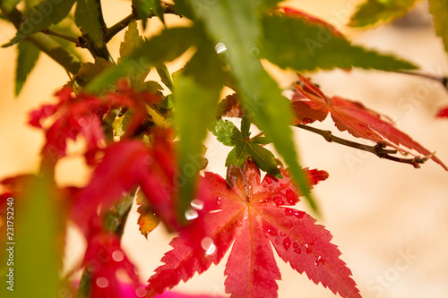 Close Up Detail Of Japanese Maple Leaves Acer Palmatum Deshojo