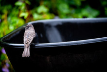A Black Phoebe Bird Sits On A Wheelbarrow Outside On A Rainy Day.