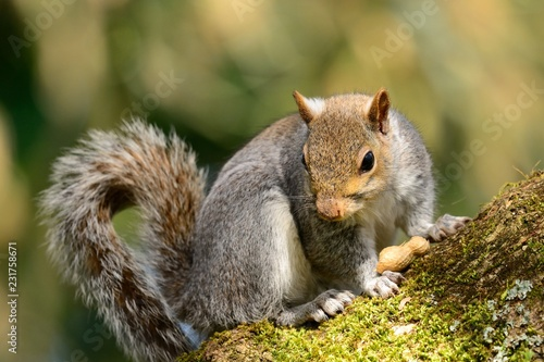 Foto op Canvas Eekhoorn Close up of an eastern gray squirrel (sciurus carolinensis) sitting on a branch with a nut